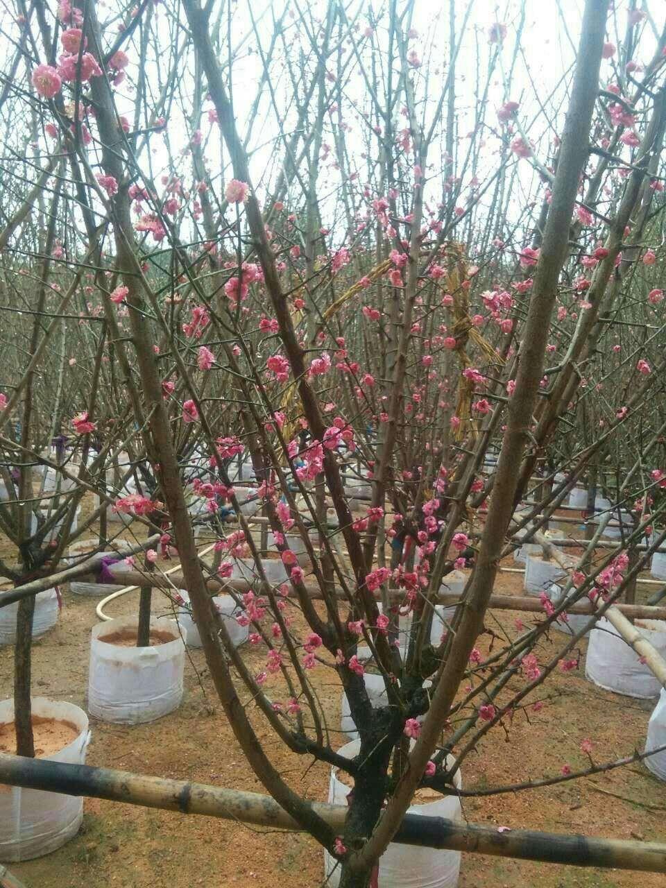 优质绿化品种梅花梅花品种多