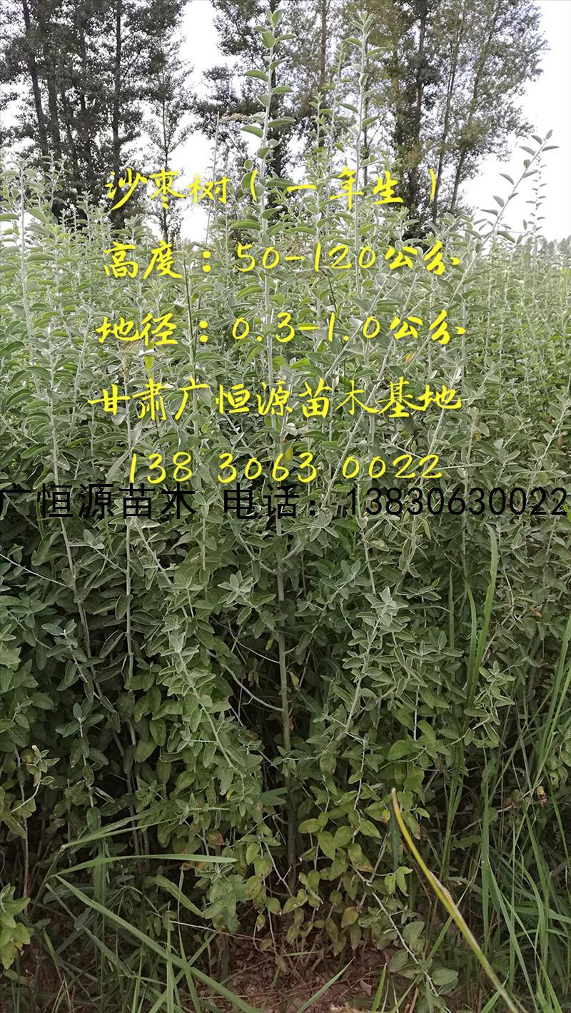 沙枣苗|沙枣树|沙枣苗基地|沙枣苗价格
