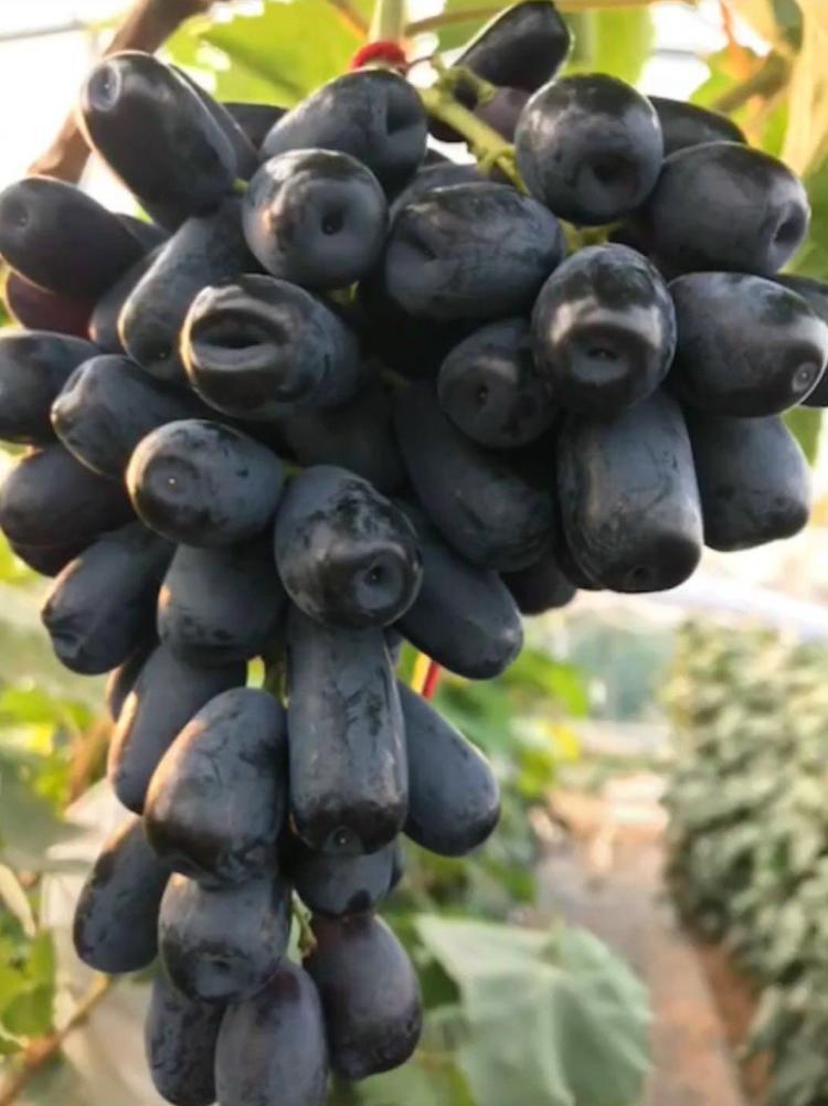 蓝宝石葡萄苗多少钱一棵 蓝宝石葡萄苗价格  蓝宝石葡萄苗产地