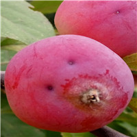 北美海棠品种多亚当海棠花红冬红果大