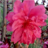 红叶碧桃3厘米的啥价格