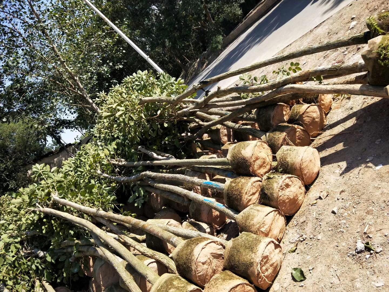 乐山黄花风铃木供应 品种好的黄花风铃木