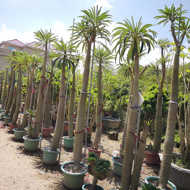 非洲霸王树 夹竹桃科棒槌树属 性冷淡风盆栽