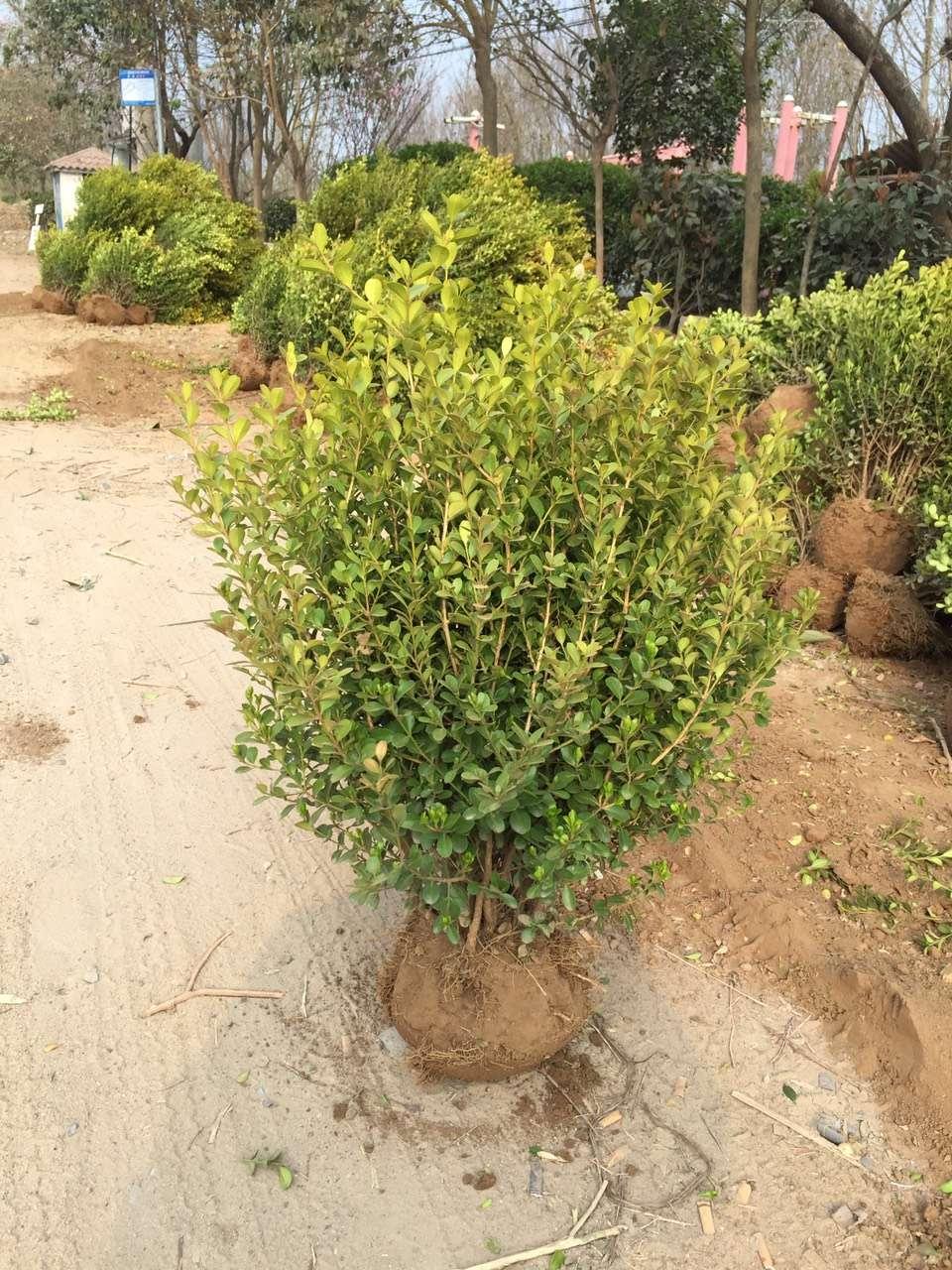 好景园林常年大量供应瓜子黄杨球