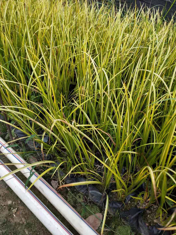 水生植物金叶石菖蒲  金叶石菖蒲规格