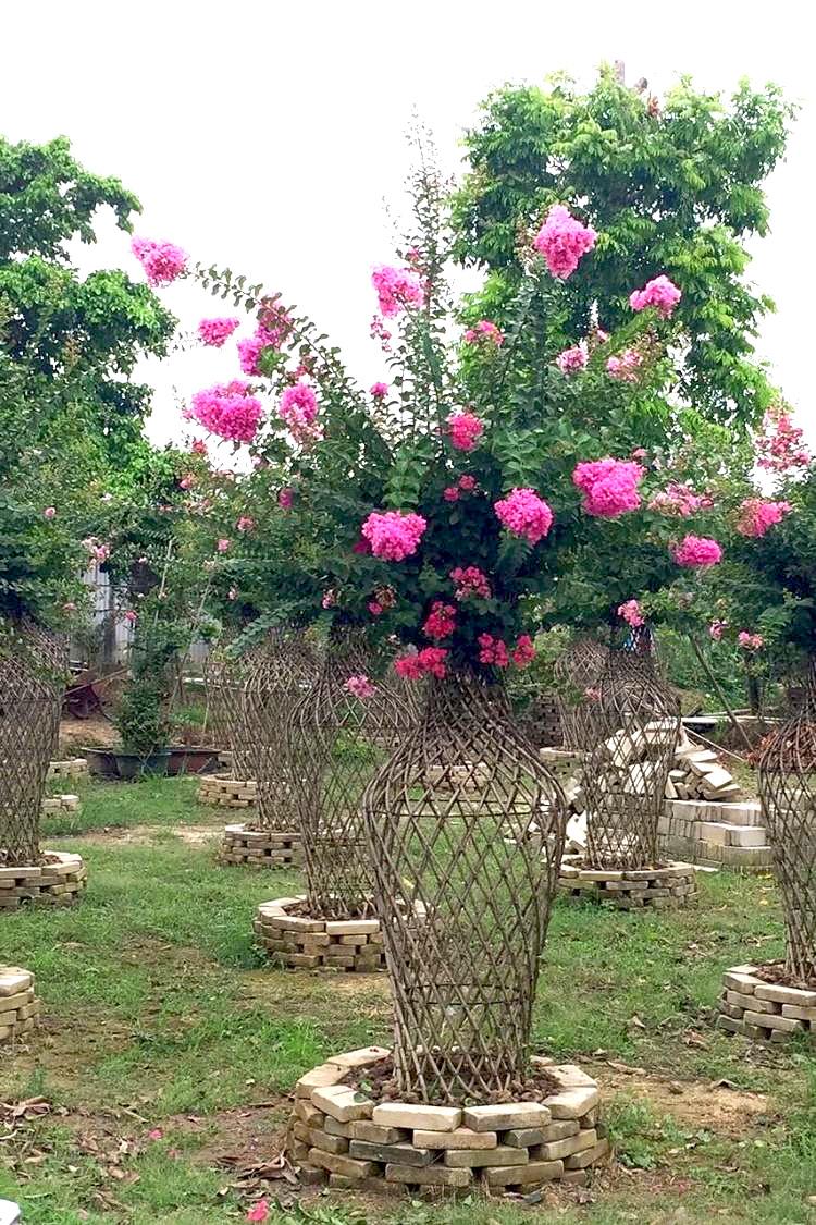 好景园林常年出售各种规格紫薇苗