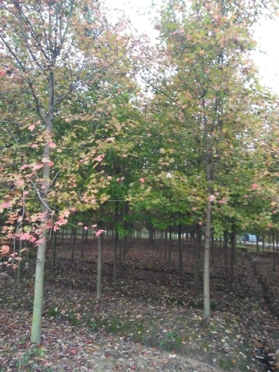 好景园林常年供应各种规格红枫树苗