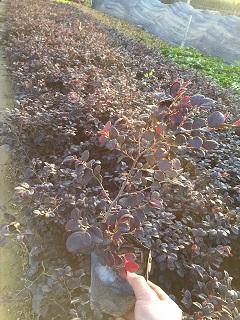 园林护坡地被红花��木 漳州常年大量供应