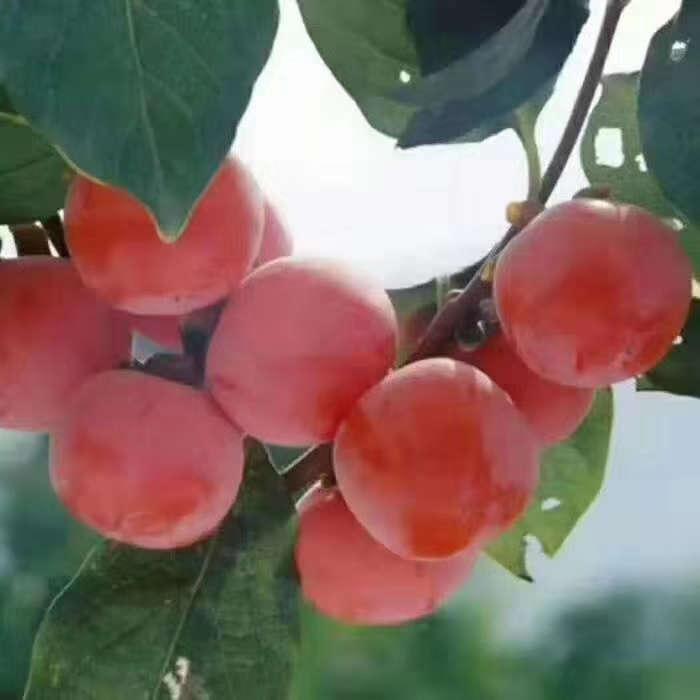 大量供应甜柿子苗