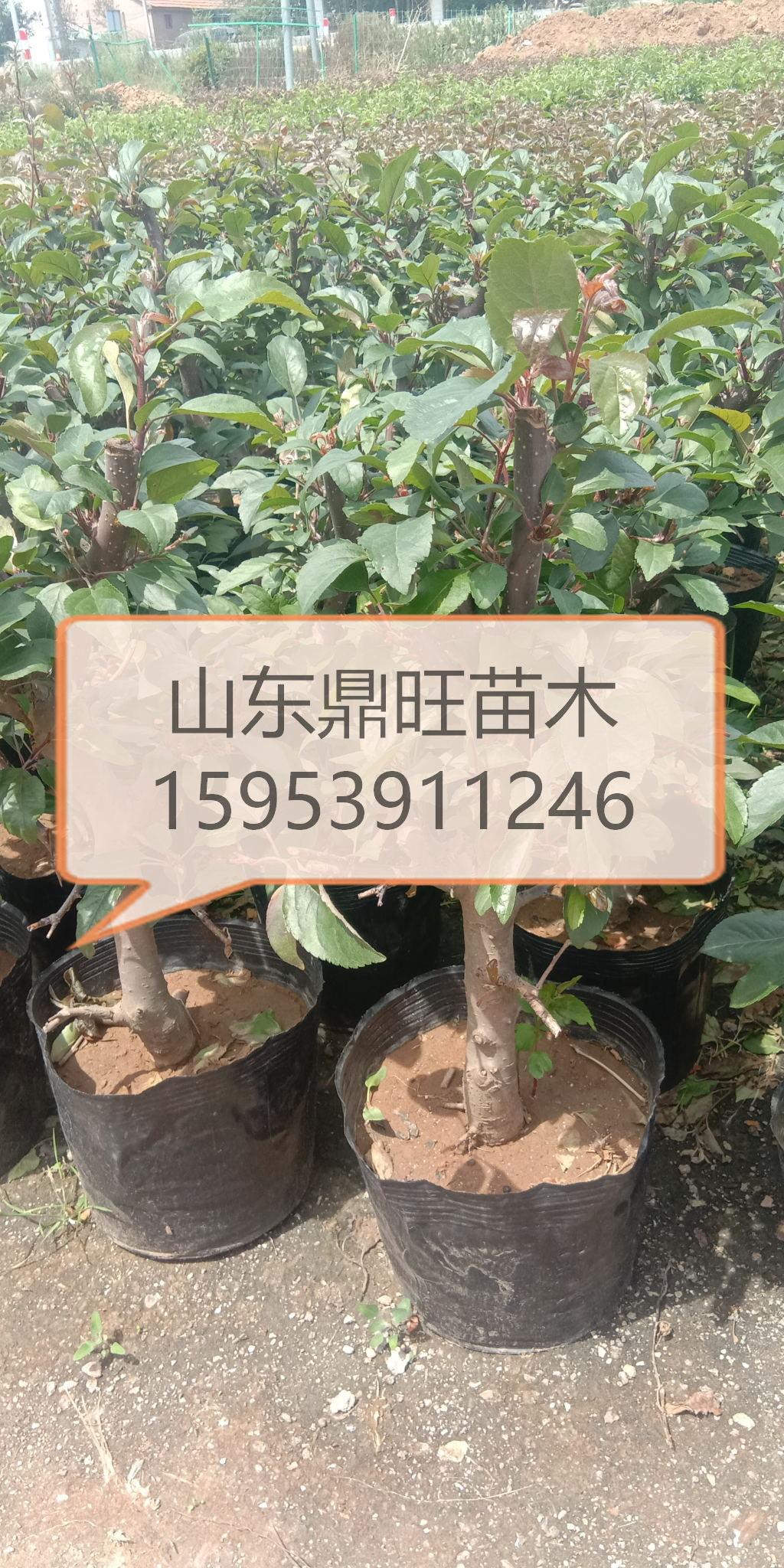 水果盆景,海棠盆景,木瓜海棠盆景,桂花盆景
