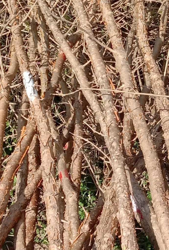 原生法桐,美国红枫,日本樱花,流苏【油根子】