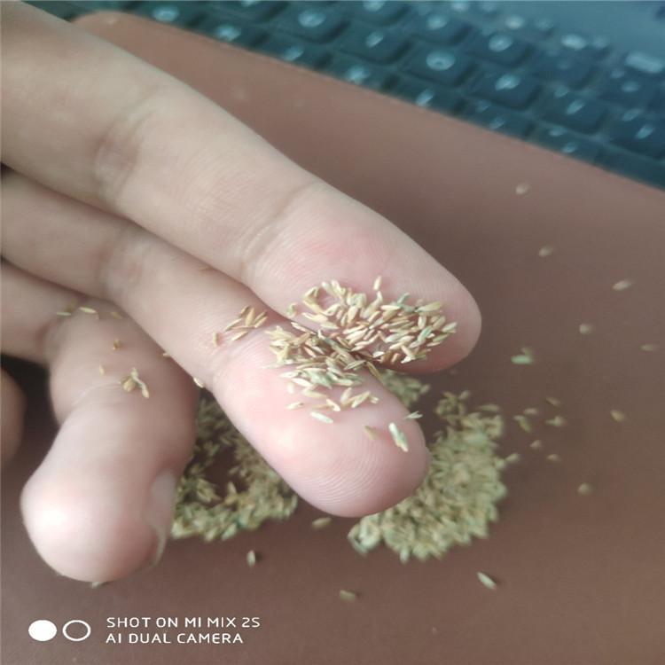 早熟禾种子 黑麦草种子 紫羊茅种子