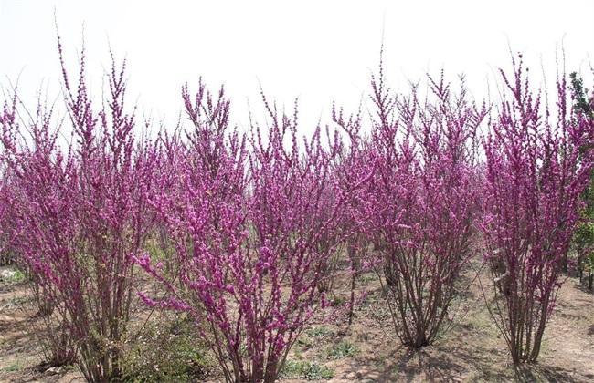 江苏盐城供应2-4公分紫荆
