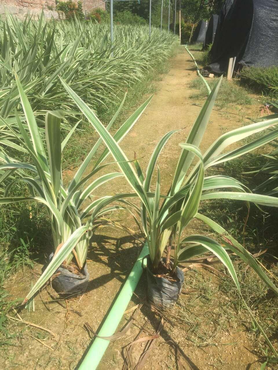 多年生常绿草本地被植物山管兰 大量供应