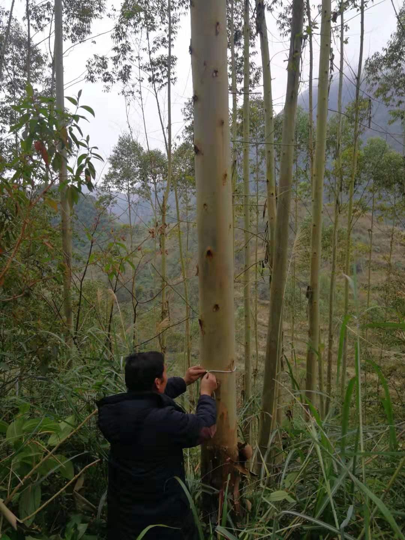 广西百色靖西县400余亩桉树林木出售
