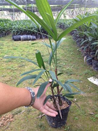 供应室内桌面**竹类盆栽细叶棕竹