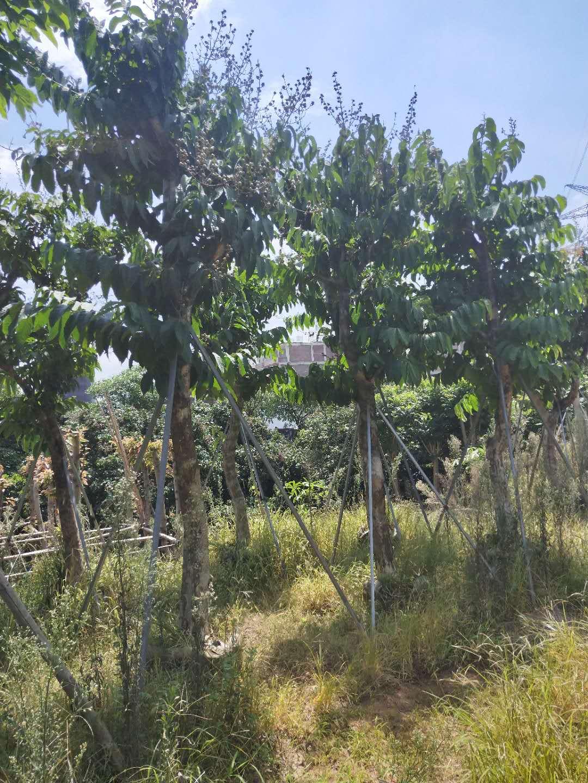 精品行道风景绿化树大叶紫薇 多规格供应