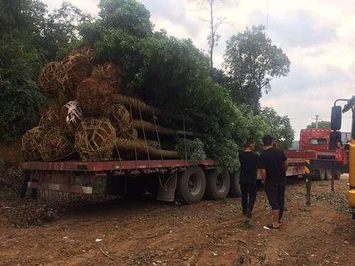 全国浏阳截干香樟货源地农户直销