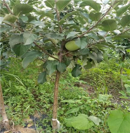 供应1-10公分苹果树苗鲁丽苹果树苗基地批发