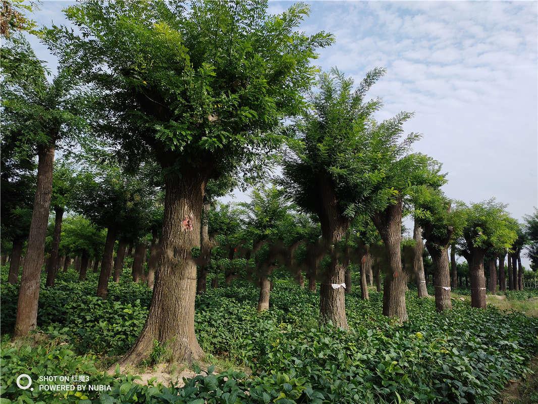 山东25公分国槐报价 一级树优惠价格