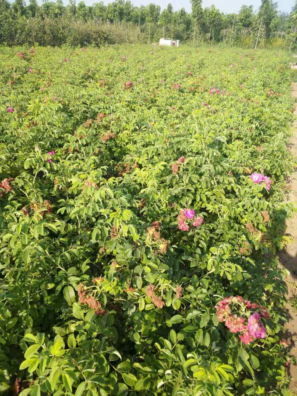 出售:四季玫瑰