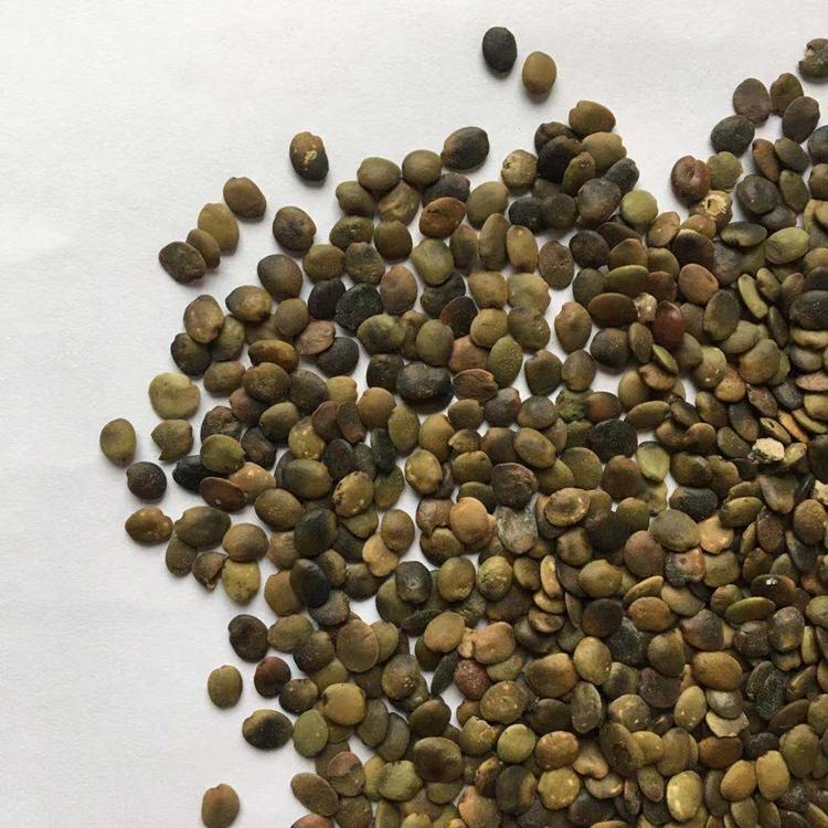 新采巨紫荆种子价格紫荆种植颜轲种业供应