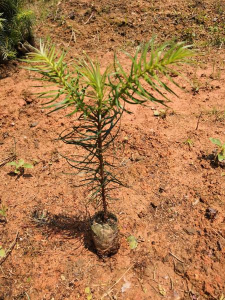 良种杉木袋苗 杉木轻基质袋苗 杉木杯苗