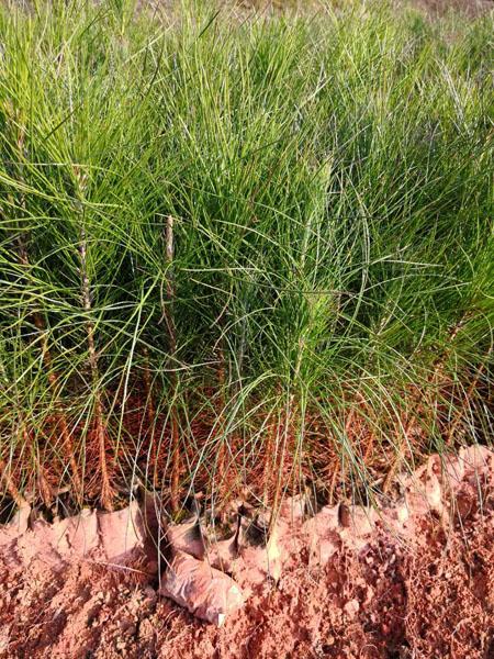 湿地松 湿地松种子 湿地松苗 湿地松袋苗