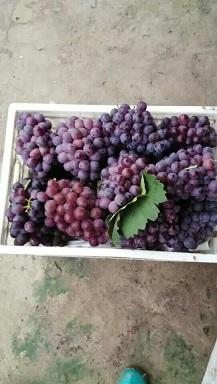 吉林巨峰葡萄苗出售易成活巨峰葡萄苗
