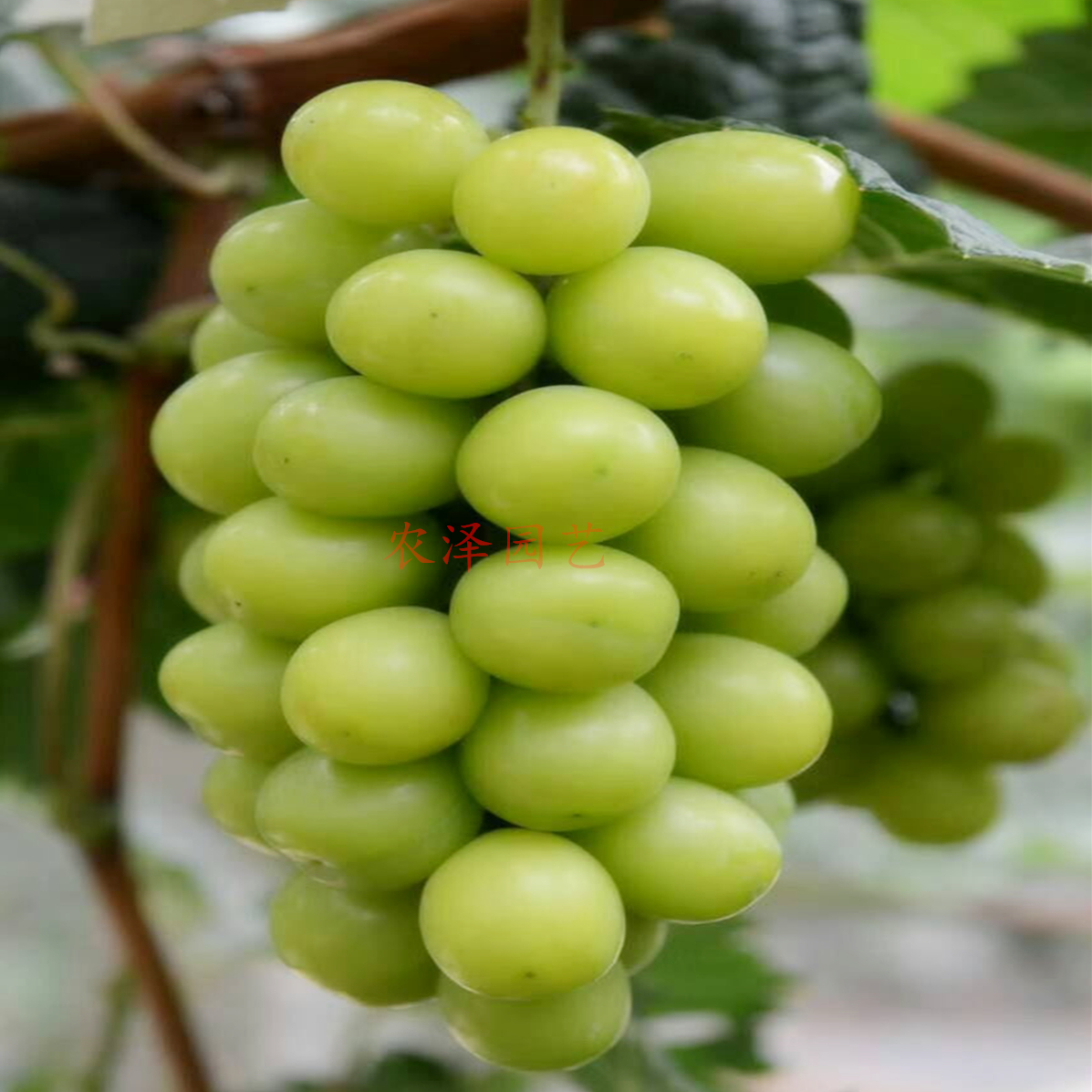 2020年行情山东阳光玫瑰葡萄苗价格多少钱