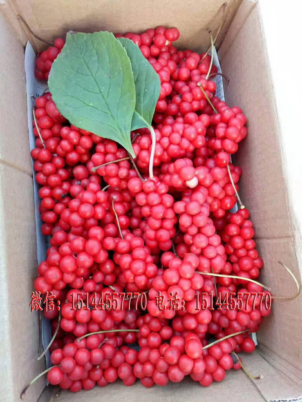 五味子种子 北五味子种子 五味子种苗