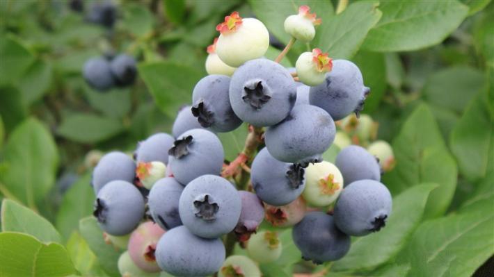 丹东特产蓝莓蓝莓苗