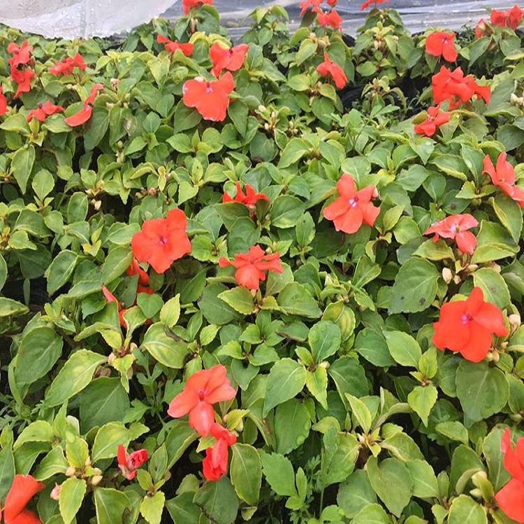 福建种植基地供应时花盆栽凤仙颜色多样