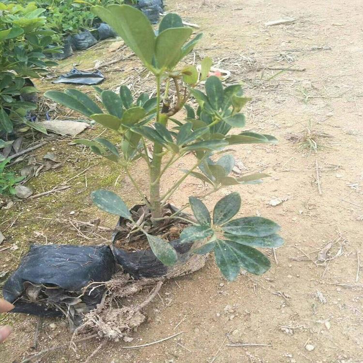 基地直销绿化工程用小乔木鸭脚木物美价廉