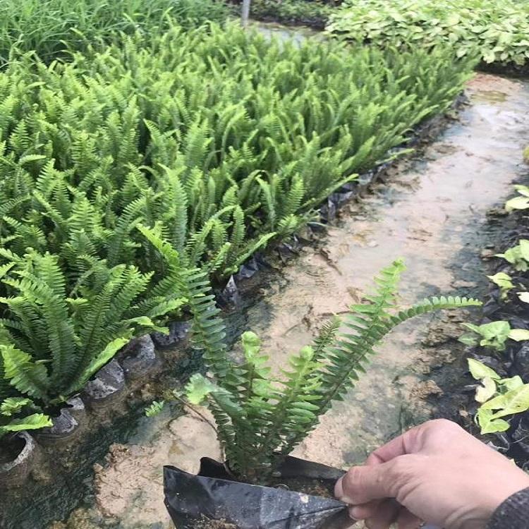 基地批发地被花草肾蕨、肾蕨价格多少