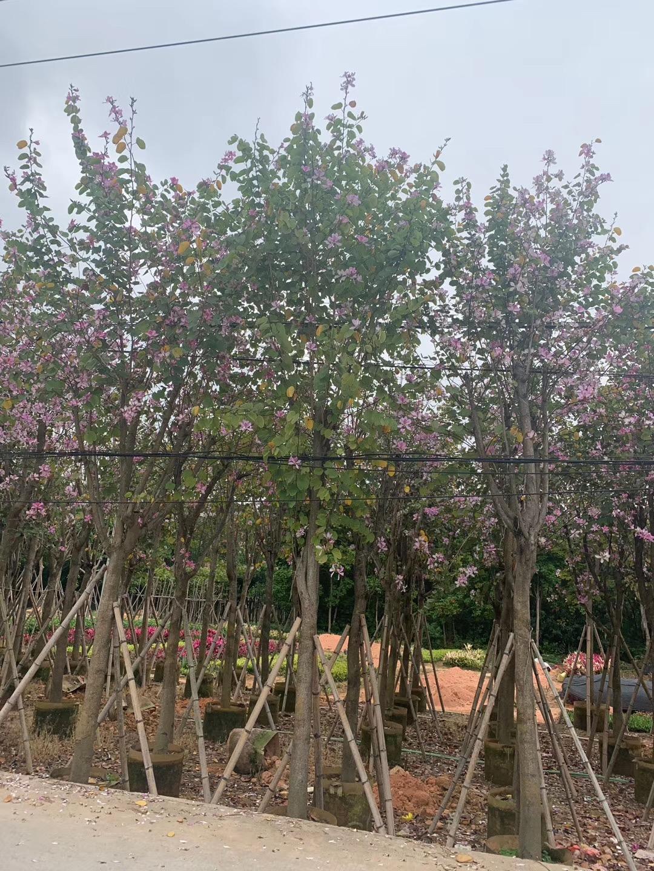 宫粉紫荆10~15公分园林景观漳州基地直销