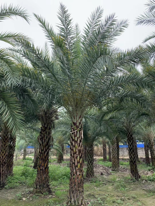 中东海枣树1.5~6米 漳州基地直销