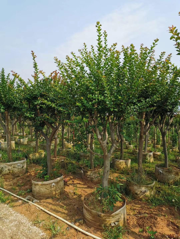 紫薇3~12公分 风景树木 漳州基地直销