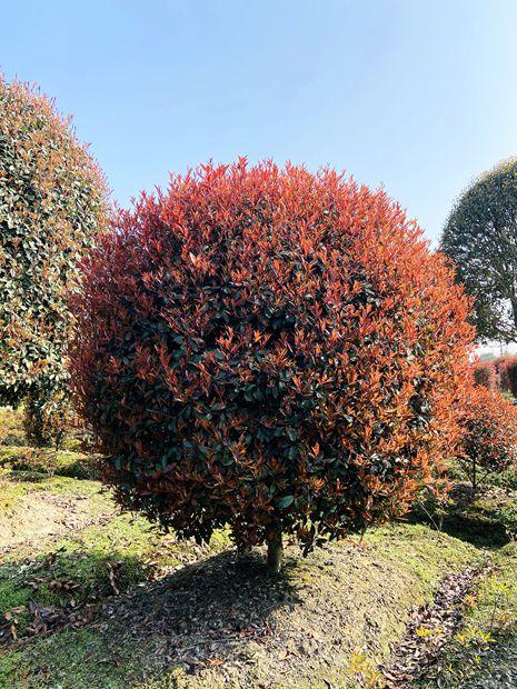 成都供应红叶石楠球-成都苗木-名川园艺场