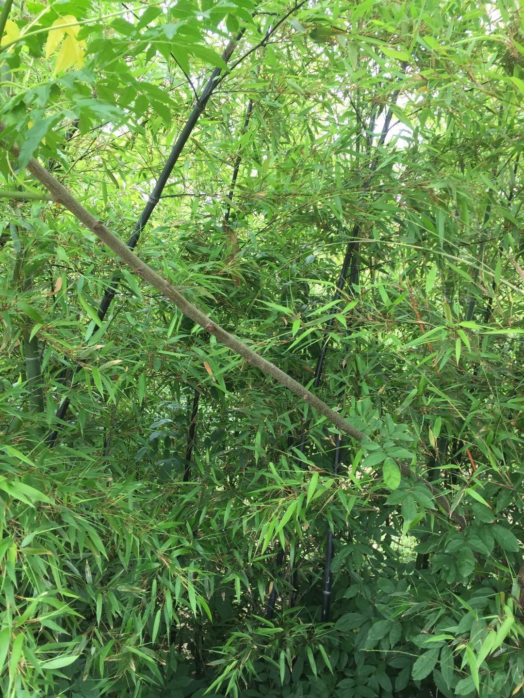 紫竹-竹子-北方竹子