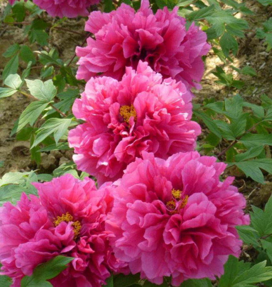 供应供应1-2年花王牡丹花种苗牡丹花苗批发