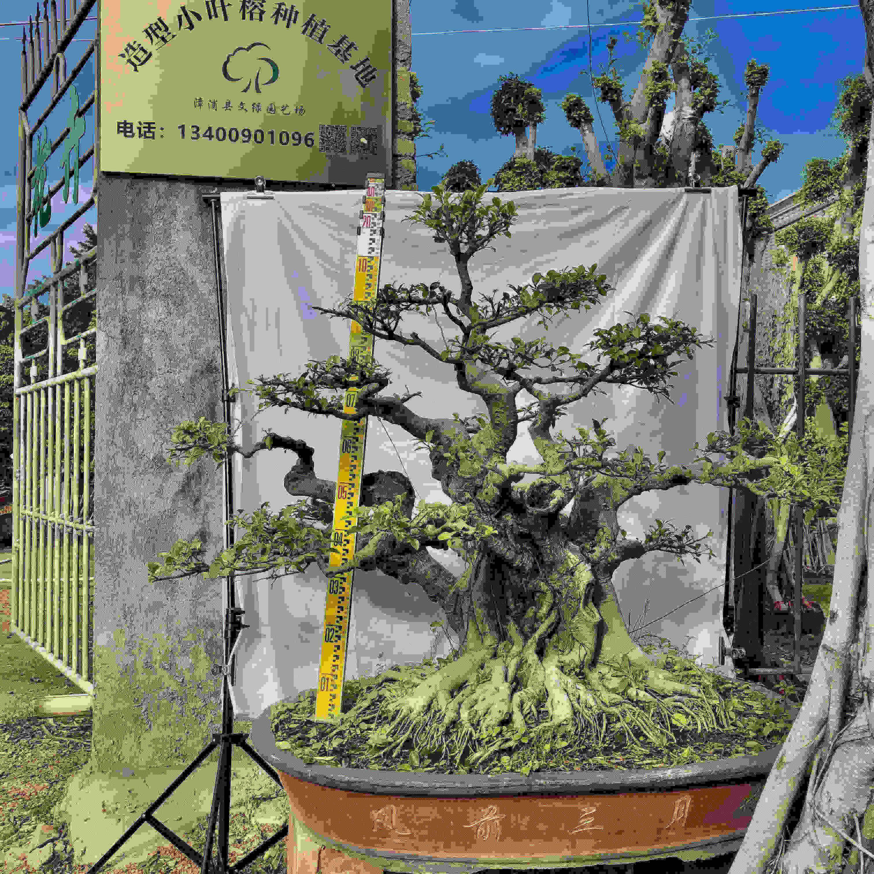 造型小叶榕榕树盆景基地直销