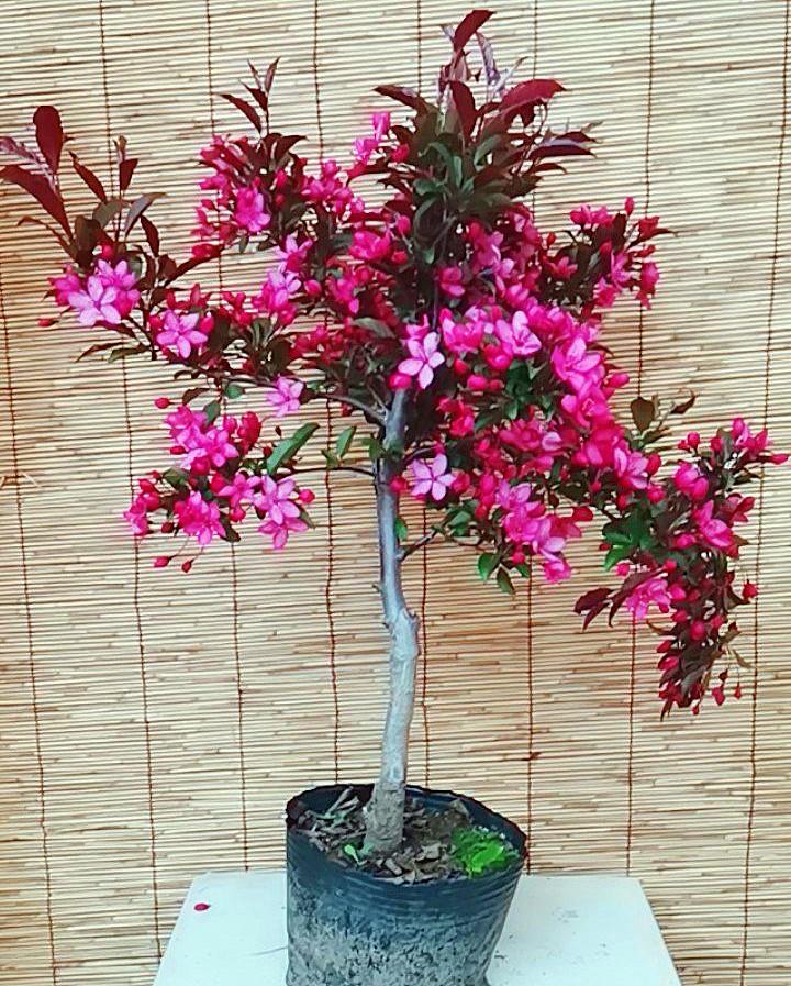 盆栽北美海棠 带果发货 产地直销