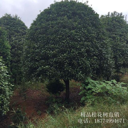 浏阳桂花树|低价桂花苗圃找张总