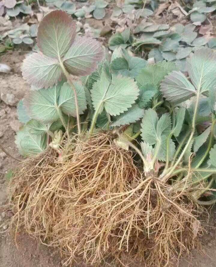 红颜草莓苗价格,基地直供优质品种草莓苗