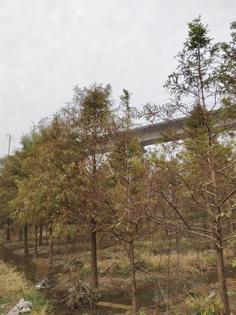 供应浙江水杉 行道树优良品种 千喜水杉