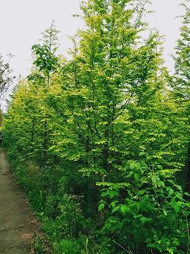 供应大量金叶水杉