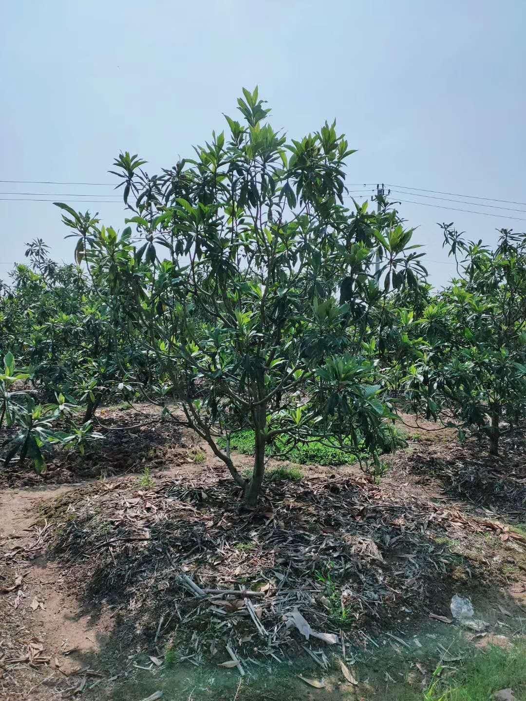 供应浙江枇杷 千喜苗木绿化果树产地