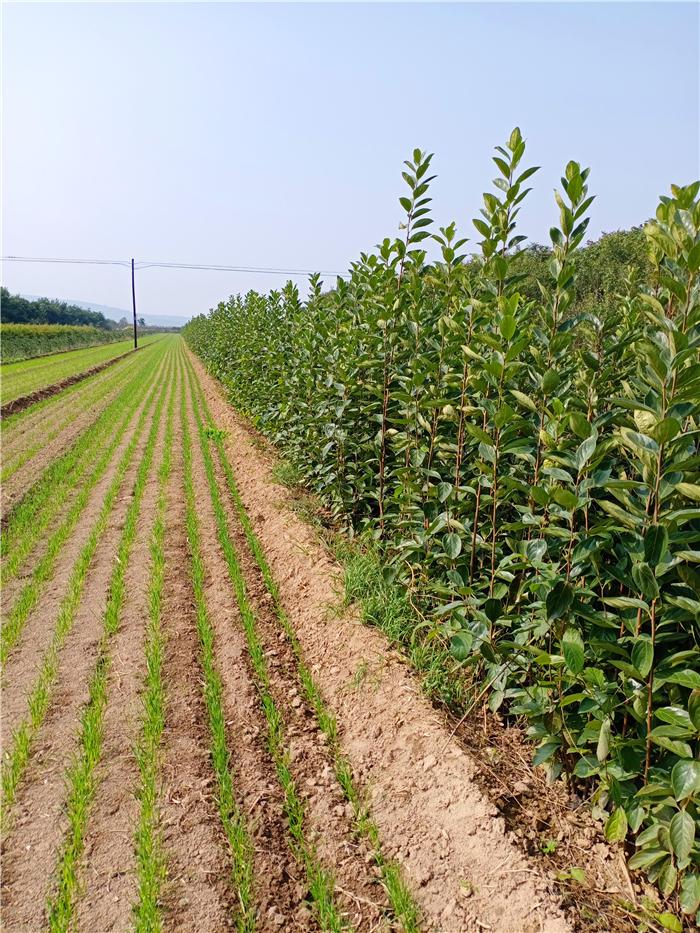 脆甜柿子树苗,阳丰甜柿子树苗,山西柿子树