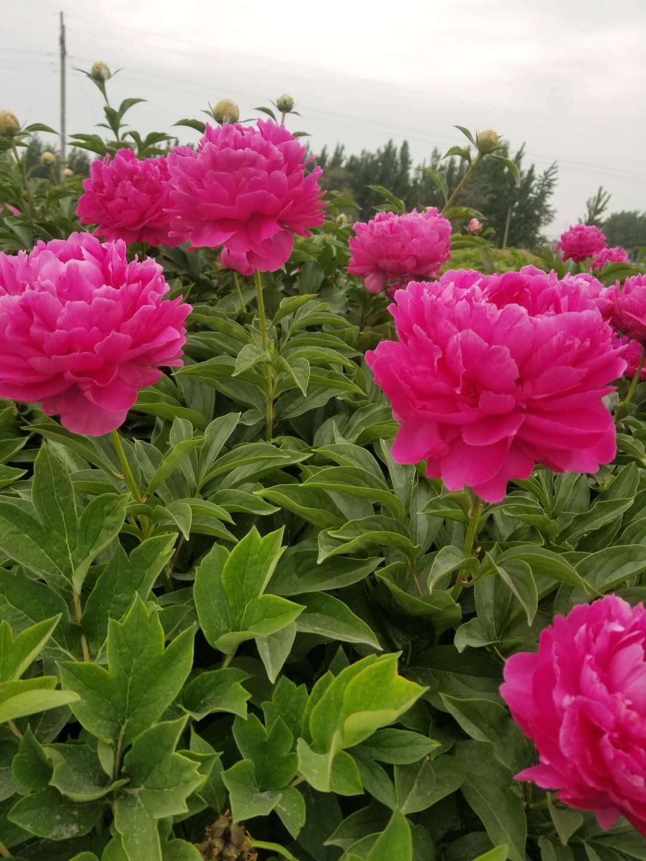 观赏芍药切花品种地栽芍药种苗菏泽基地